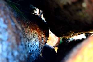 Tronco, madera en rollo de pino pinaster